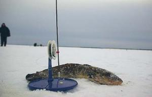 Ловля налима зимой — несколько секретов успешной рыбалки. Видео