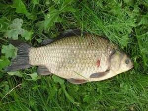Ловля карася на поплавочную удочку: секреты успешной рыбалки. Видео