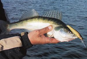 Как успешно поймать судака на спиннинг: приманки и способы лова. Ловля судака на спиннинг весной, летом, осенью и зимой. Видео