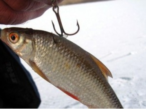 Как правильно ловить удочкой на живца судака, щуку и окуня?
