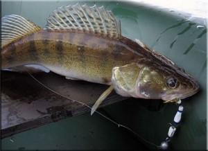 Ловля судака на джиг весной, летом и осенью. Техника и тактика ловли судака на джиг. Видео