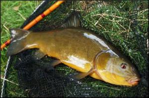 Ловля линя на поплавочную удочку - как ловить - лучшие приманки