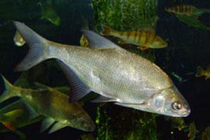 Как правильно ловить рыбу на бойлы и что нужно для их изготовления