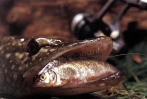 Ловля на живца осенью хищной рыбы. Тактика и приемы