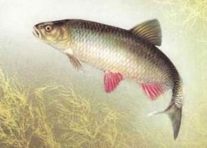 Ловля голавля зимой: тонкости и особенности рыбалки