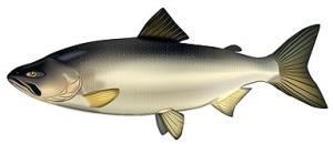 Красная рыба способствует долголетию