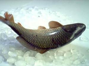 Хотите защитить себя от диабета? Употребляйте в пищу больше рыбы
