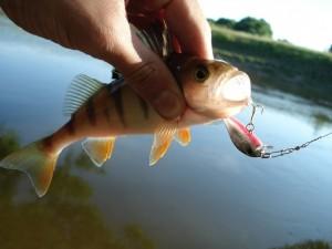 Ловля окуня на воблеры — особенности сезонной рыбалки
