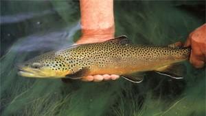 Польза и вред форели для здоровья человека — ценность этой рыбы