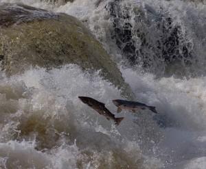 Процесс нереста у лосося — несколько удивительных фактов