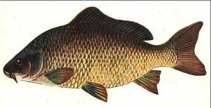 Карп — польза и вред этой рыбы для здоровья