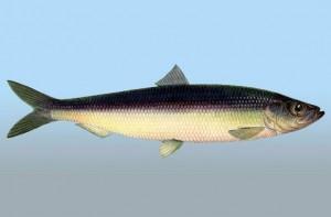 Польза селедки — что ценного в этой рыбе?