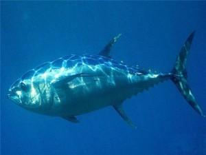 Польза и вред тунца для здоровья человека