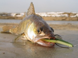 Особенности ловли судака на отводной поводок