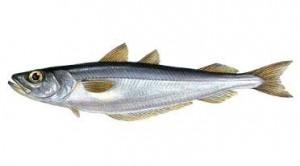 Какую пользу можно получить от рыбы путассу?