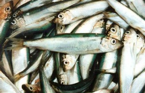 Какую пользу рыба салака может принести нашему организму?