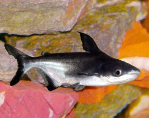 Какую пользу несет в себе рыба пангасиус