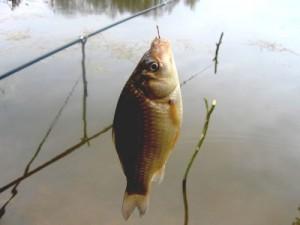 Какие приманки для карася применяют рыболовы?