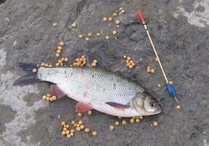 Ловля язя на горох — чем привлекает рыбу данная насадка