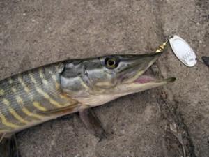 Как ловить на дорожку и подготовиться к рыбалке данным способом