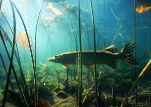 Где ловить щуку — какие места обитания любит эта рыба?