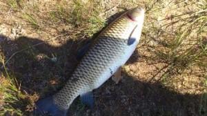 Ловля белого амура осенью — снасти и приманки