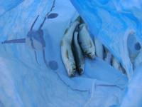 В Липецке вводят запрет на ловлю рыбы на зимовальных ямах