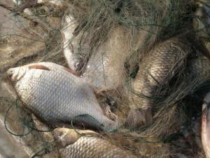 Пойманы браконьеры на р.Цивиль в Чебоксарском районе