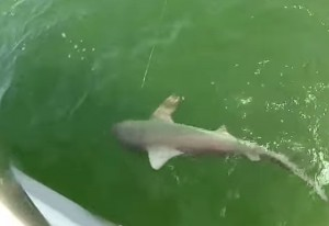 Окунь во Флориде проглотил акулу с первой попытки