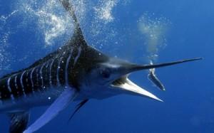 Рассмотрим самых быстрых рыб в мире