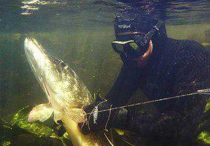 Подводная охота на щуку — проверенные приемы