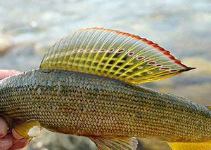 Рыбалка в Хакасии на хариусаРыба хариус