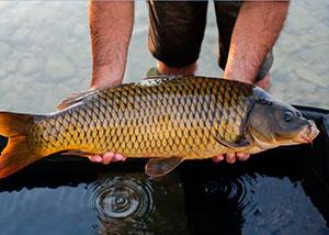 Рыба сазанРыбалка в Хакасии на сазана